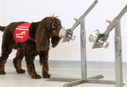 Cachorros ganham treinamento para farejar Covid-19 em assintomáticos