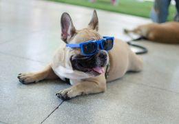 Pesquisa encontra as raças de cães amis sofrem no calor