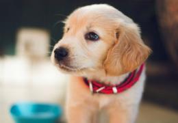 Cachorros podem envelhecer até 30 vezes a idade de humanos no primeiro ano