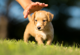 5 curiosidades sobre os filhotes de cachorros