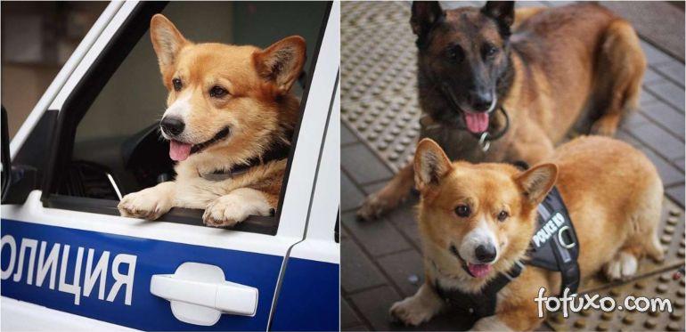 Cachorro Corgi ganha aposentadoria depois de 7 anos como policial na Rússia