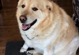Cão obeso perde peso e escapa do sacrifício