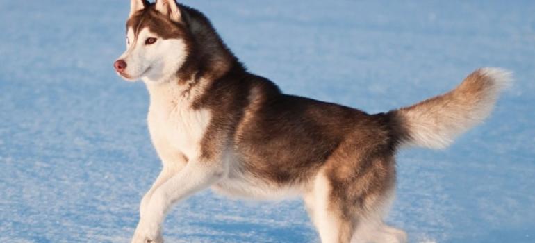 10 raças de cães que se parecem com os lobos
