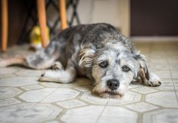 5 sinais que podem indicar que seu cachorro está com depressão