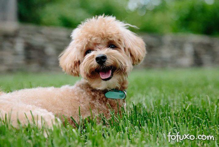 4 raças de cachorro que não crescem muito