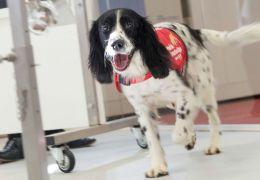 Cães treinados podem ajudar pessoas diabéticas em crise