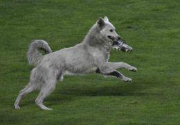 Cachorro interrompe jogo de futebol e acaba adotado