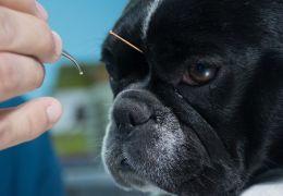 Confira os benefícios da acupuntura para o seu pet