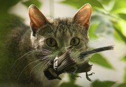 É possível diminuir o instinto caçador dos gatos domésticos? Pesquisadores dizem