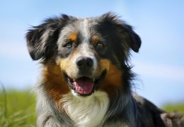 4 raças de cachorros que estão entre as mais inteligentes