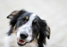 """Cientistas dizem que """"há boa chance"""" de cães terem consciência"""