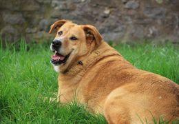 Saiba identificar a obesidade em cães e gatos