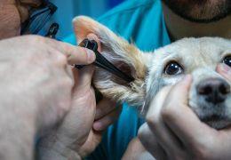 """Saiba como identificar e tratar a """"sarna de ouvido"""" do seu cão"""