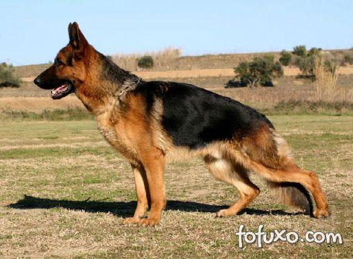 Conheça 5 tipos de Displasia Coxo Femural em cães