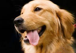4 raças de cachorro fáceis de adestrar