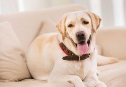 """Por que os cães adoram """"roubar"""" o local dos humanos no sofá"""