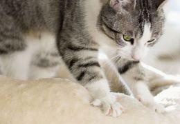 """Por que gatos """"amassam pãozinho"""" com as patas?"""