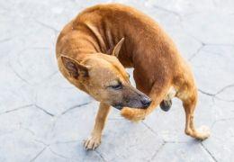 Cachorro correr atrás do próprio rabo pode ser sintoma de doença! Conheça!