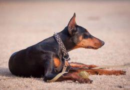 Confira alguns cuidados com cães de guarda durante o inverno