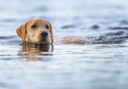 É verdade que todos os cachorros sabem nadar?