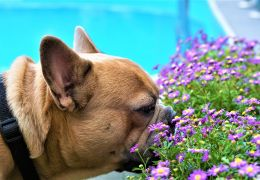Cachorros podem ter alergias durante a primavera?