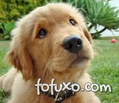 Golden Retriever - Filhote