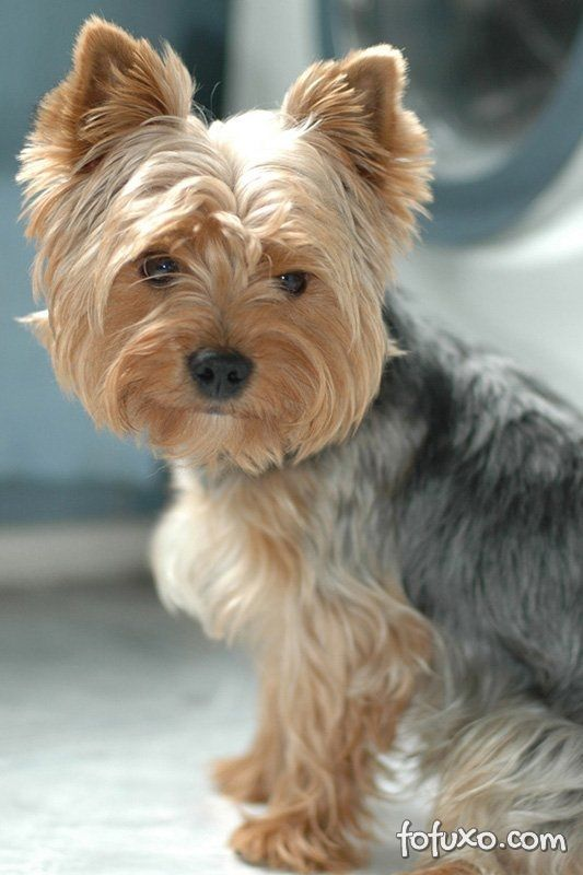 Yorkshire Terrier Ra 231 As De Cachorros