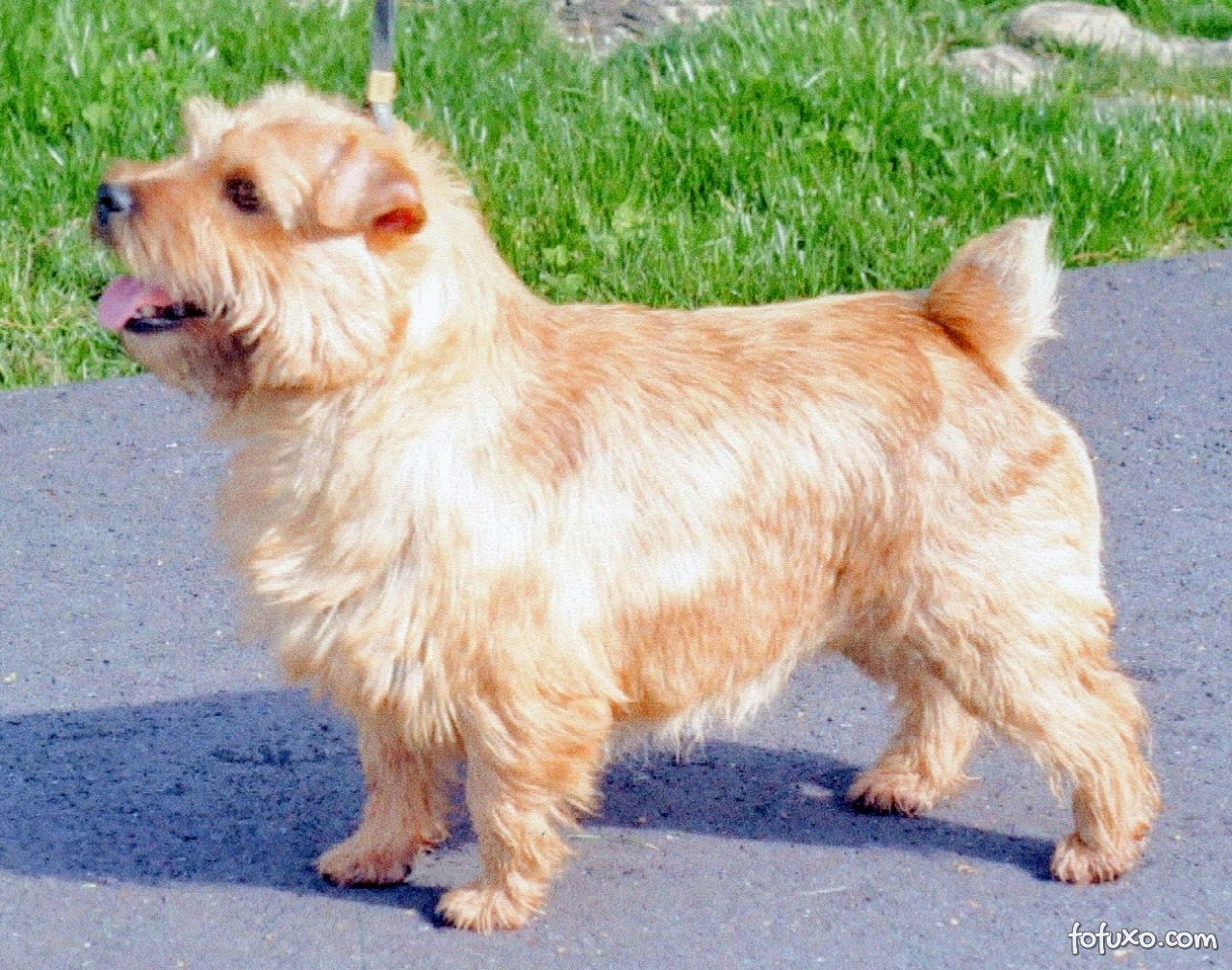 Terrier Norfolk