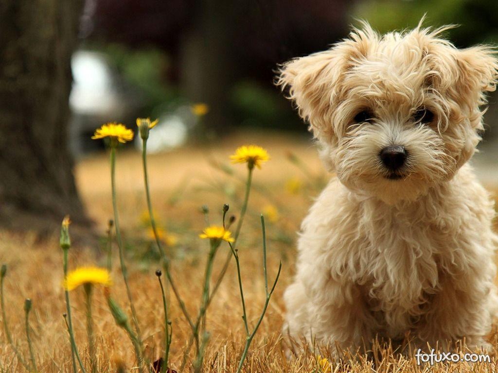 Terrier Norfolk