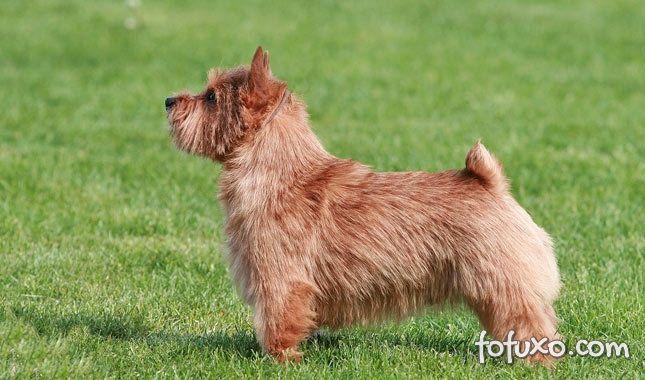 Origem do Terrier Norwich