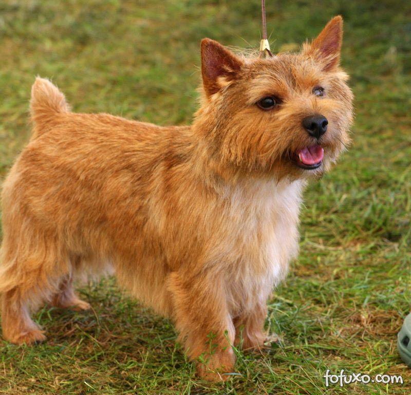 Característica do Terrier Norwich