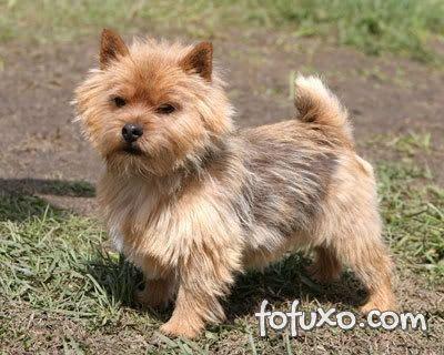 Pelagem do Terrier Norwich
