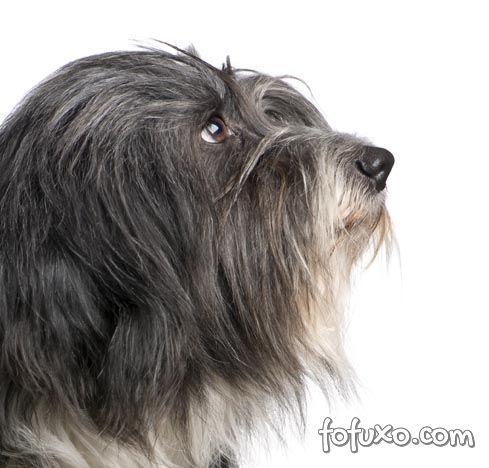 Saúde do Terrier Tibetano