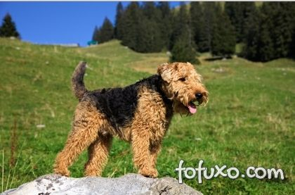 Adestramento do Welsh Terrier