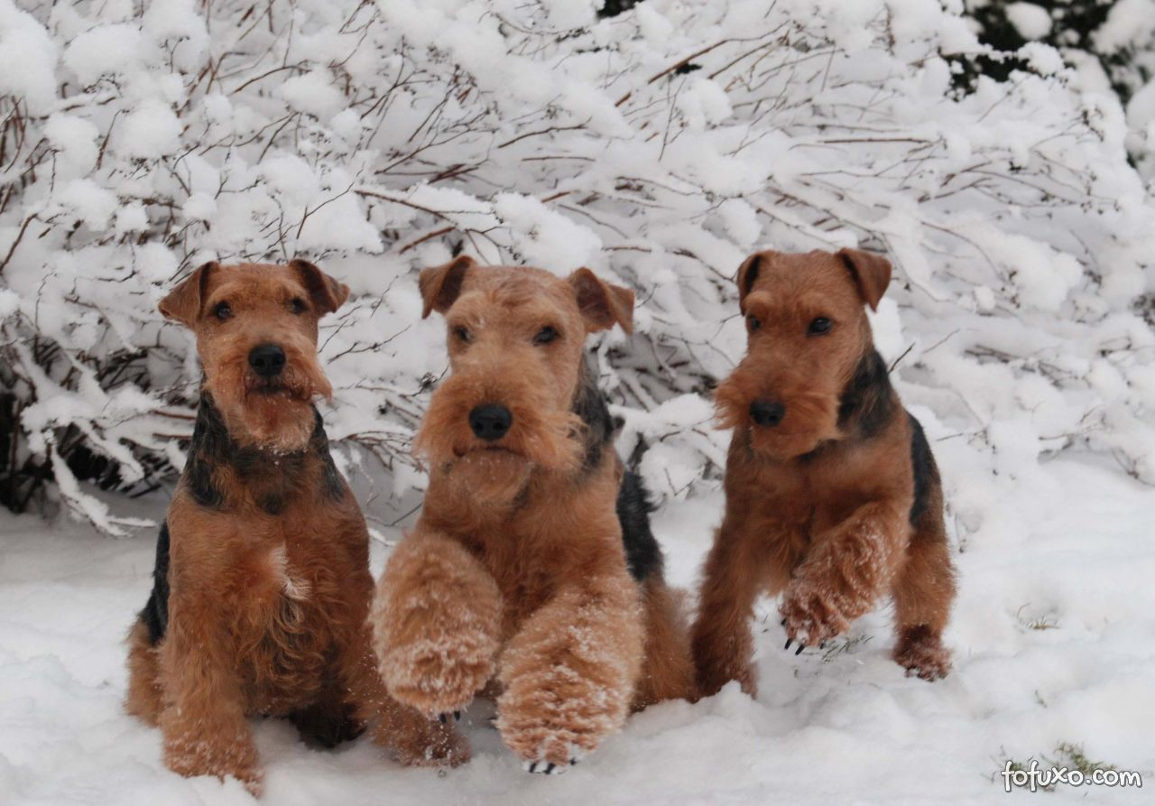 Origem do Welsh Terrier