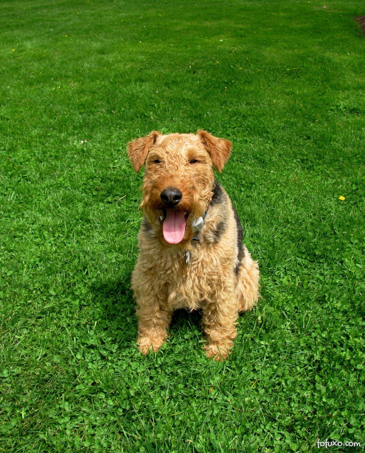Características do Welsh Terrier