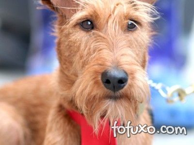 Saúde do Welsh Terrier