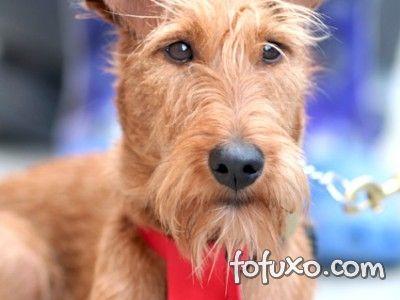 Saúde do Welsh Terrier