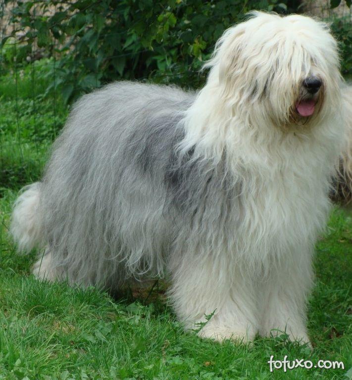 Antigo cão Pastor Inglês