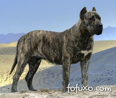 Dogue Canário