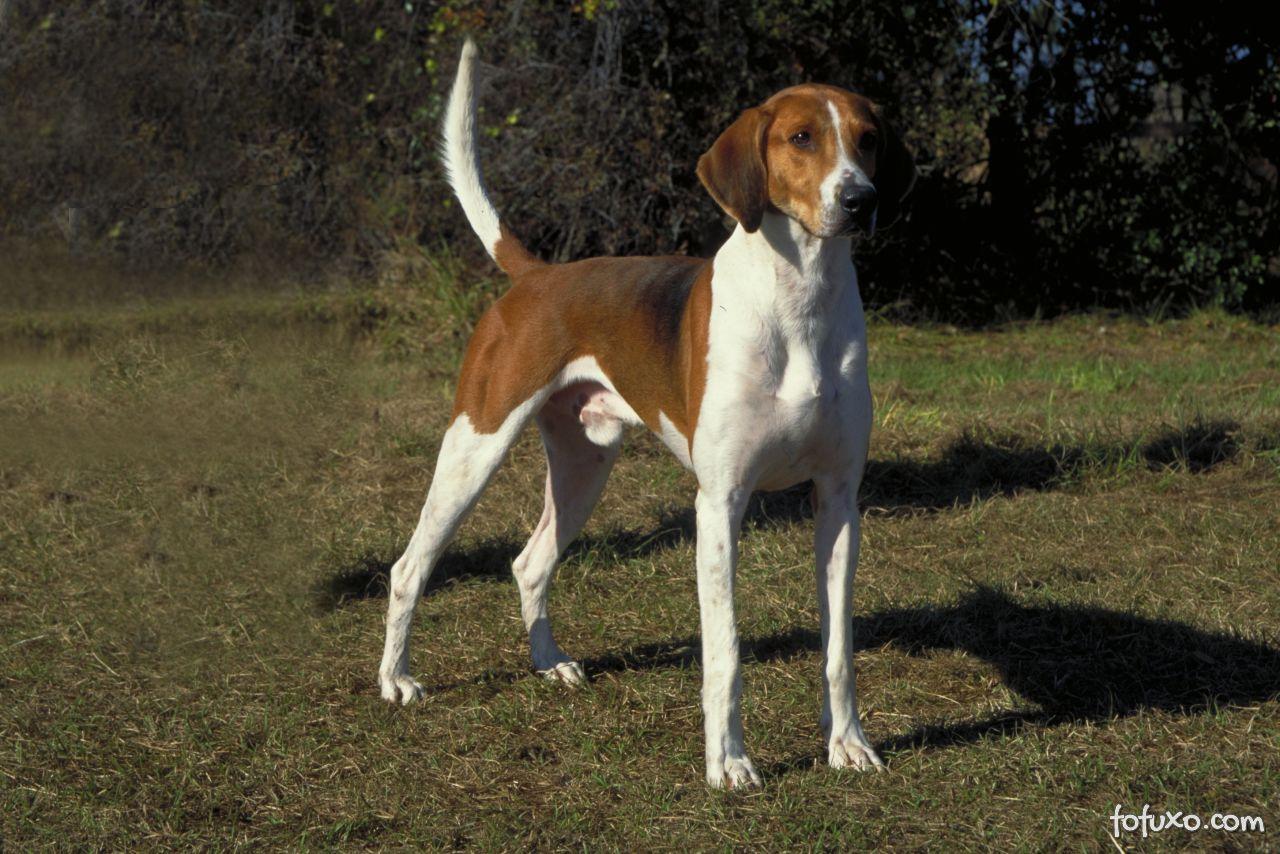 Foxhound Raças De Cachorros