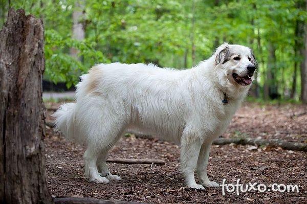 Cão de Montanha dos Pirinéus