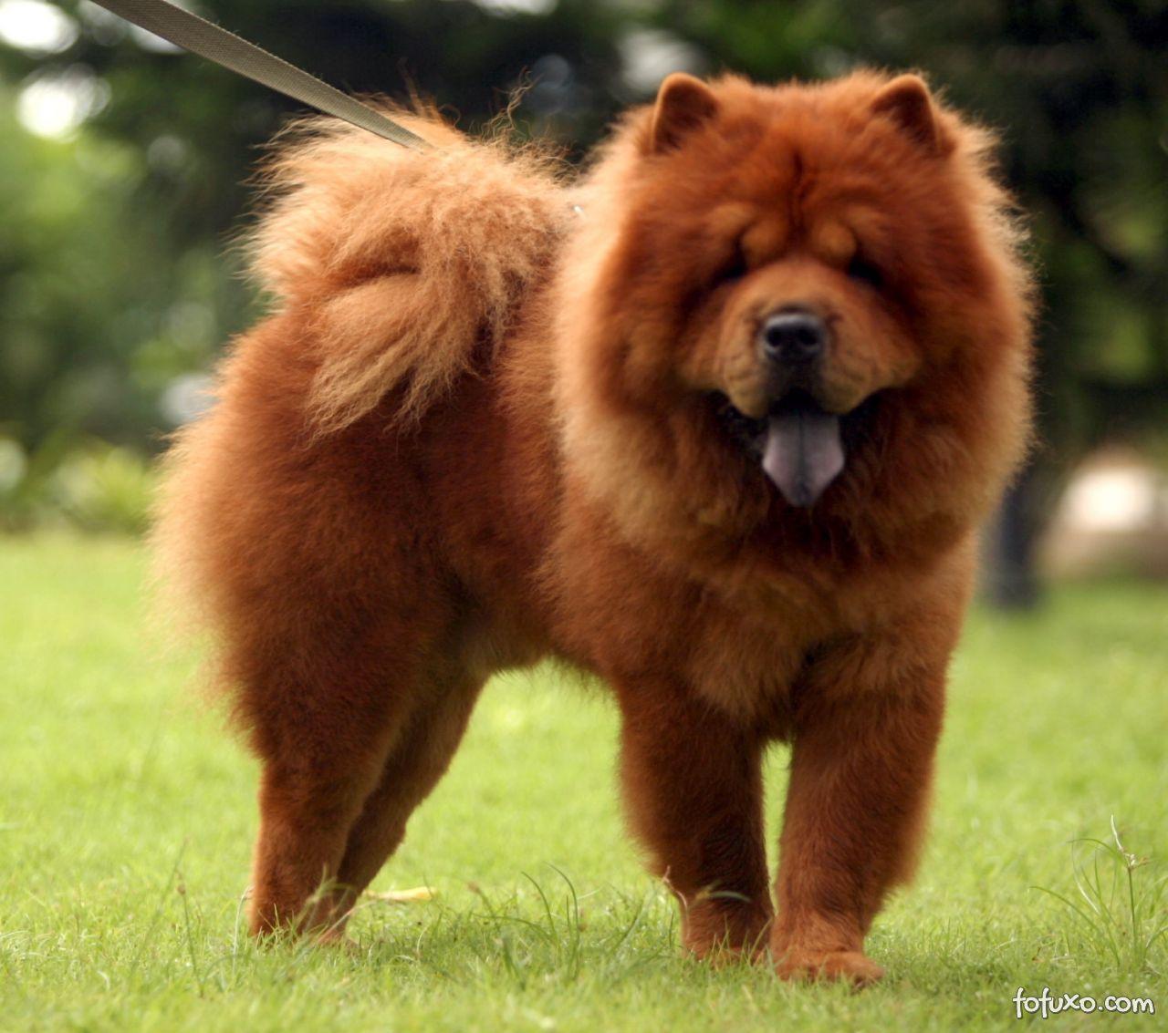 cão peludo fofo