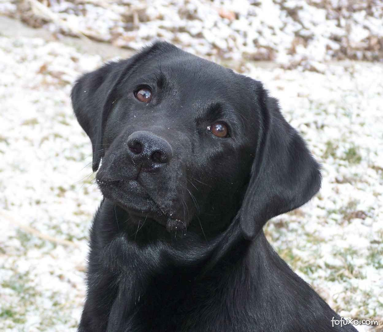 Resultado de imagem para cão labrador preto