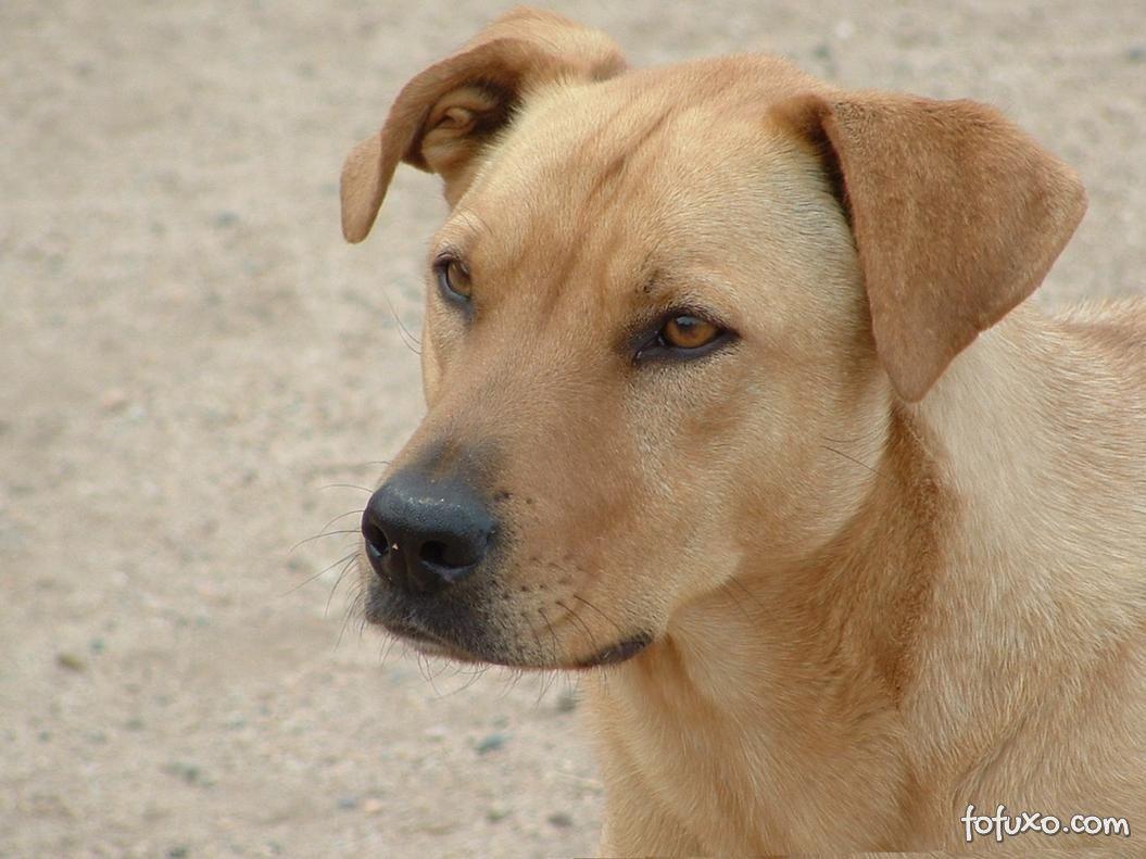 Rhodesian Ridgeback - Raças de Cachorros