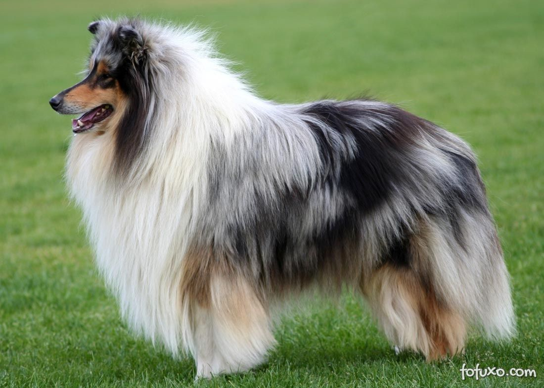 https://static.fofuxo.com.br/_upload/galleries/2013/04/04/rough-collie-515ddb7e7b62a.jpg