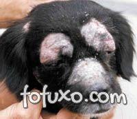 Dermatofitose causa feridas circulares na pele do cão.