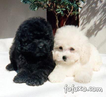 Poodles filhotes