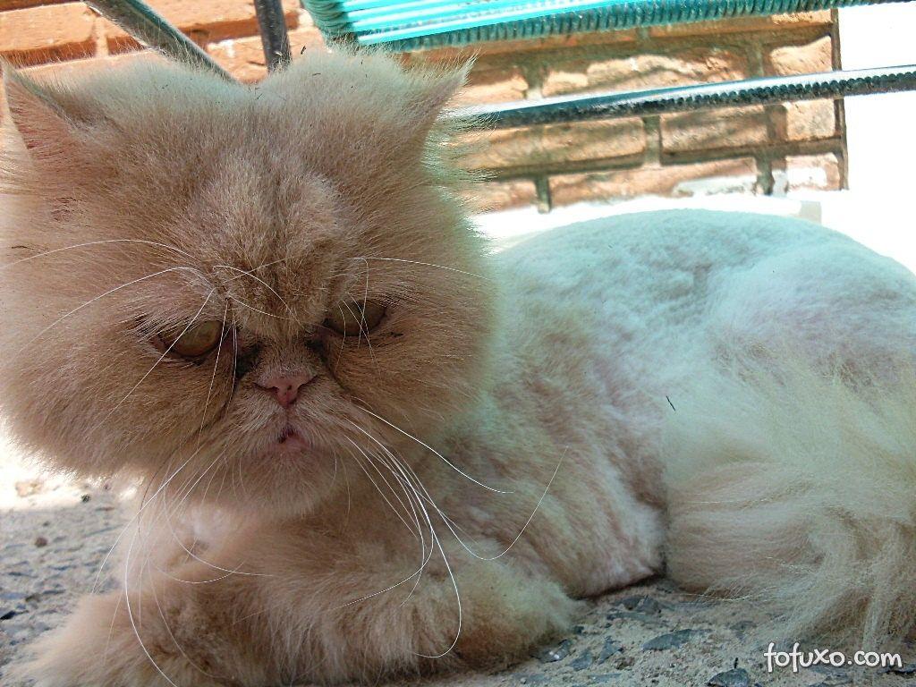 Gato precisa ser escovado de tempos em tempos.
