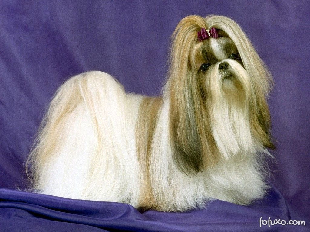 https://static.fofuxo.com.br/_upload/galleries/2013/04/16/lhasa-apso-516d5d21b1879.jpg